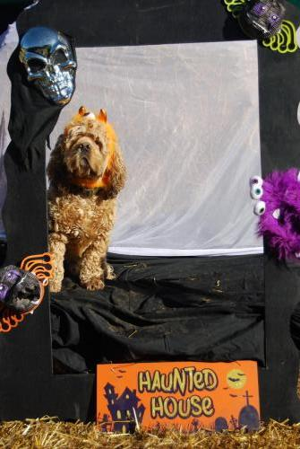 Bailey the American Cocker Spaniel