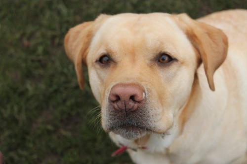 Bea the Labrador