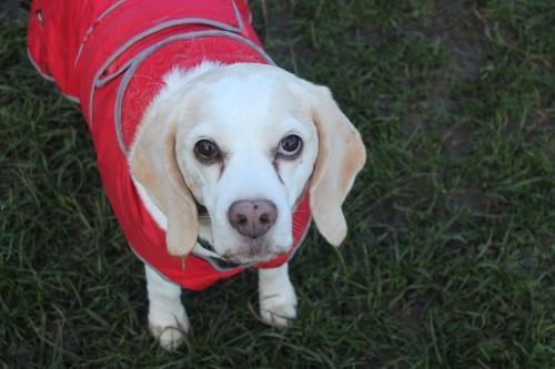Bean the Beagle