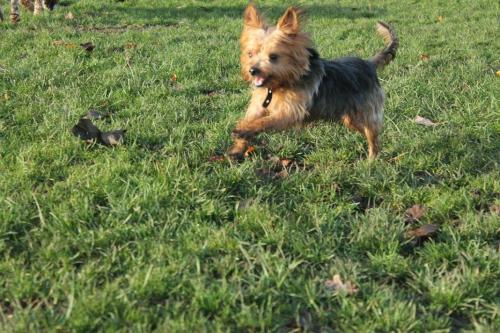 Beau the Yorkshire Terrier