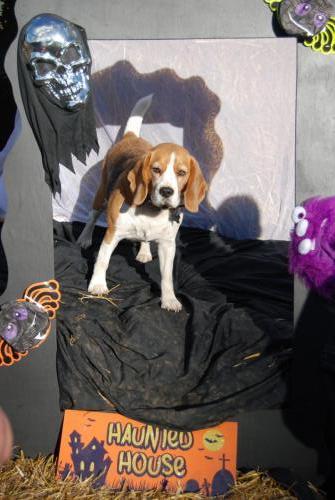 Cassie the Beagle