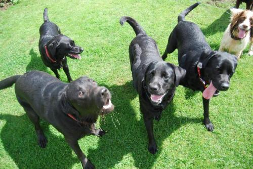 Four Black Labs