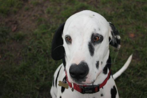 Hugo the Dalmatian