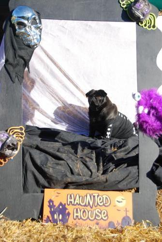 Lola the black Pug