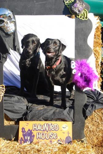 Monty and Tilly the black Labradors