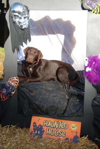 Patsy the Chocolate Labrador