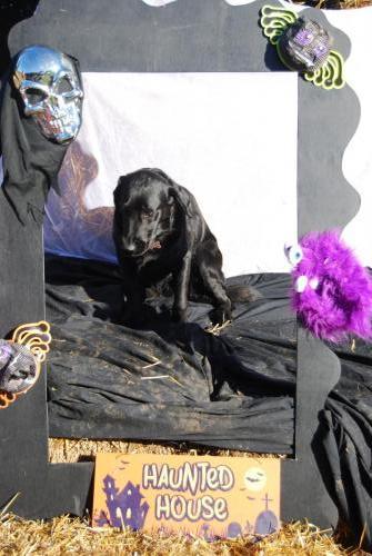 Poppy the Black Labrador